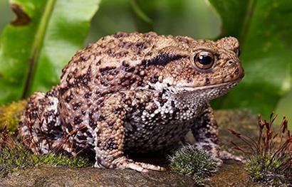 [Image: american_toad.jpg]